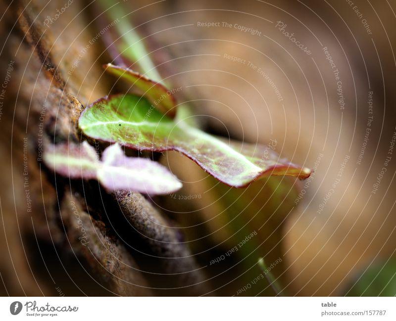 immergrün Baum braun Symbole & Metaphern Tradition Verbundenheit Treue Efeu Kletterpflanzen Makroaufnahme umgänglich Volksglaube