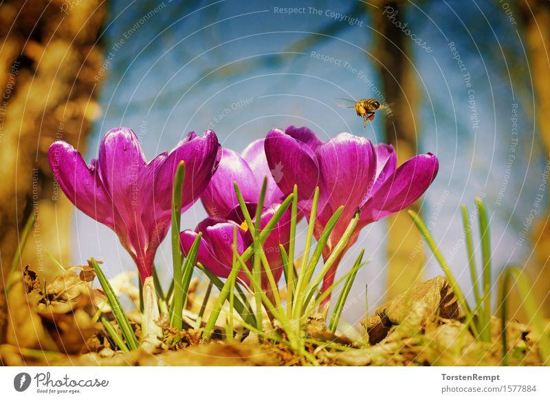 Krokus mit Biene Pflanze Frühling Blume Blüte Garten Park Duft violett rosa Krokusse Schwertlilie Vintage Blumen Nahaufnahme orange Farbfoto Außenaufnahme Tag