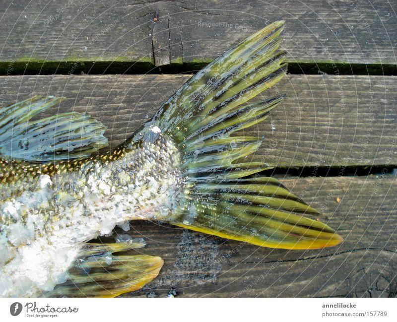 heute gibt's Fisch Wasser Ernährung Tod Holz See Steg Fleisch Angeln Fischereiwirtschaft Angler Flosse schleimig Schuppen schillernd