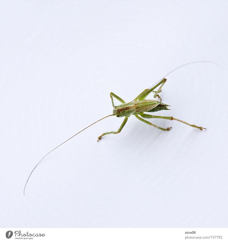 """""""grill""""picknick grün Insekt Lebewesen Fühler Salto Heuschrecke Heimchen"""
