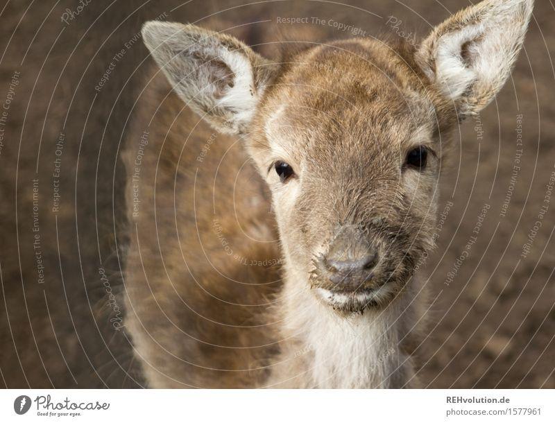 Reh Umwelt Natur Tier beobachten braun Tierjunges Wildtier Zoo Rehkitz Farbfoto Gedeckte Farben Außenaufnahme Menschenleer Hintergrund neutral Tag Unschärfe