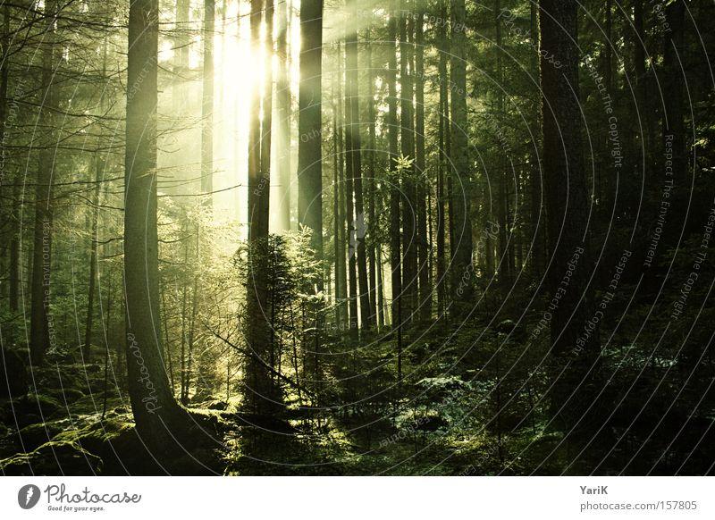 wegweiser Sonne Sonnenstrahlen Baum Wald Licht Lichtstrahl Waldboden Sträucher erleuchten Strahlung grün gelb Wärme