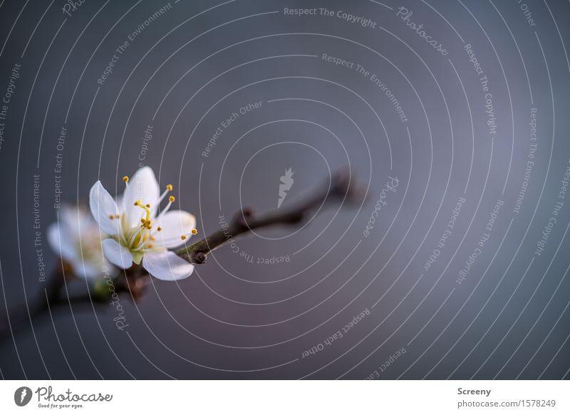 Das Erwachen Natur Pflanze Frühling Blume Sträucher Blüte Park Duft klein weiß Frühlingsgefühle Wachstum Blühend Blattknospe Pollen Ast Farbfoto Außenaufnahme