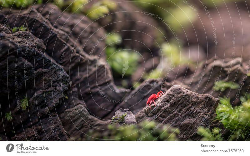 Extremkletterer Natur Pflanze Tier Frühling Moos Wald Wanze 1 krabbeln klein braun grün rot Samtwanze Insekt Waldboden Farbfoto Außenaufnahme Makroaufnahme