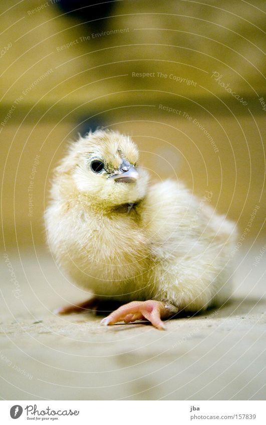 Küken 2 Tier Auge Kindheit Vogel frisch Feder Neugier Fell Schnabel Haushuhn Geburt Küken ausrutschen