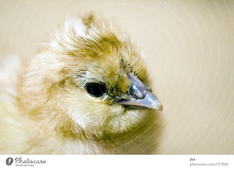 Küken 3 Haushuhn Schnabel Auge Fell Feder Tiefenschärfe Geburt neu frisch Freude Vogel geboren Kindheit