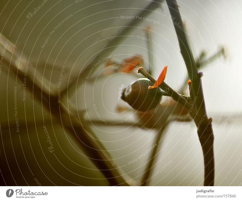 Hagebutte Natur Winter Farbe kalt Umwelt Frucht trist Sträucher Zweig kahl Hagebutten