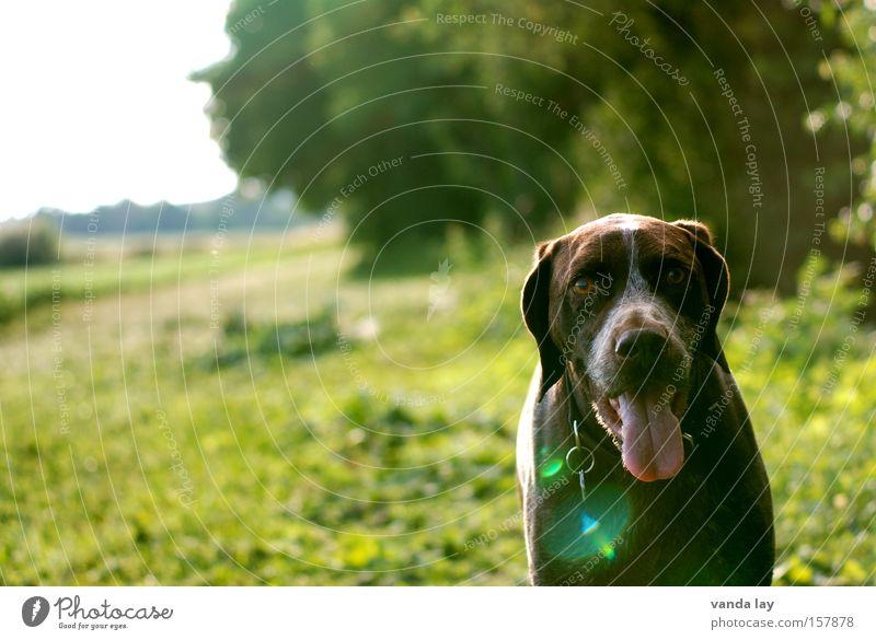Guten Tag Hund Haustier Tier Säugetier Natur Sommer Wiese grün Sonne Blendenfleck Zunge Jäger Spaziergang laufen Deutsch Kurzhaar