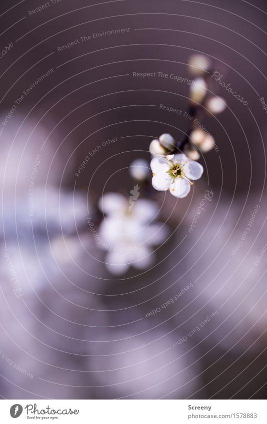 Frühlingserwachen Natur Pflanze Blume Sträucher Blüte Park Wald klein weiß Frühlingsgefühle Blühend Blattknospe Farbfoto Außenaufnahme Makroaufnahme