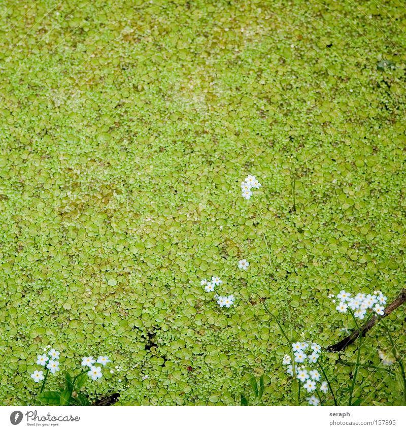Biotop Wasserlinsen Teich See Blume Blüte fein Pflanze Gewässer Sumpf lein gras teichlinse Lein duckweed waterlens lemna minor Schwimmbad biotope Blühend Gras