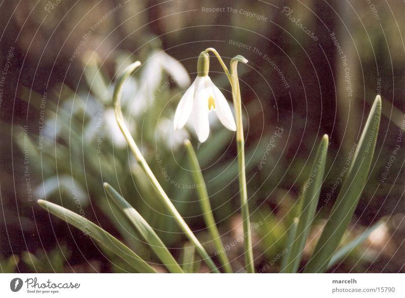 Schneeglöckchen Blume Schneeglöckchen