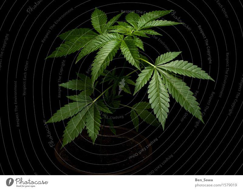 Eine dämonische Pflanze Natur Gras Hanf Nutzpflanze Topfpflanze Cannabis Cannabisblatt Wachstum dunkel glänzend grün schwarz Farbfoto Menschenleer