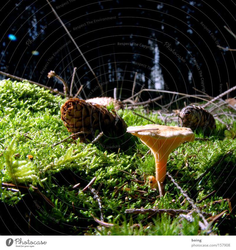 Tannenzäpfle Pilz falsch Pfifferlinge Zapfen Wald Moos Schönes Wetter Waldlichtung Zecke Gemüse Pilze sammeln Eierschwammerl Tannennadel