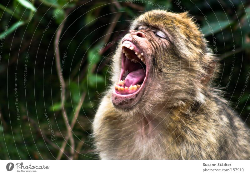 Affe nach dem Zahnarztbesuch... weiß Angst Behaarung Gebiss schreien Säugetier Zunge Affen Bohrmaschine Bohrer Mundhöhle
