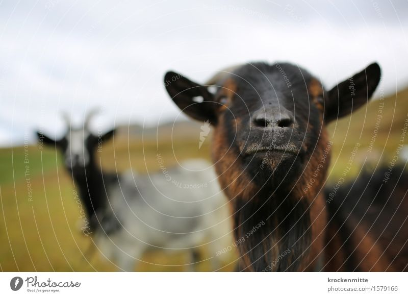 Schnupperschnute Umwelt Natur Landschaft Erde Pflanze Gras Hügel Alpen Berge u. Gebirge Tier Nutztier Ziegen 2 Tiergruppe Herde Tierpaar Neugier niedlich blau