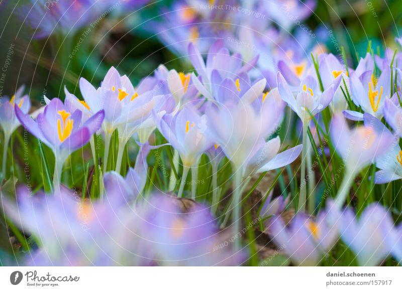 ganz nett, oder ??? schön Blume grün blau Blüte Frühling Garten violett Krokusse