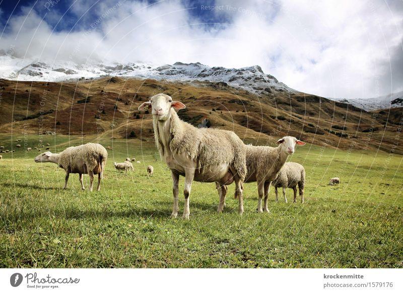 völlig von der Wolle Himmel Natur Pflanze blau grün Landschaft Wolken Tier Berge u. Gebirge Herbst Wiese Felsen Erde wandern Sträucher Tiergruppe