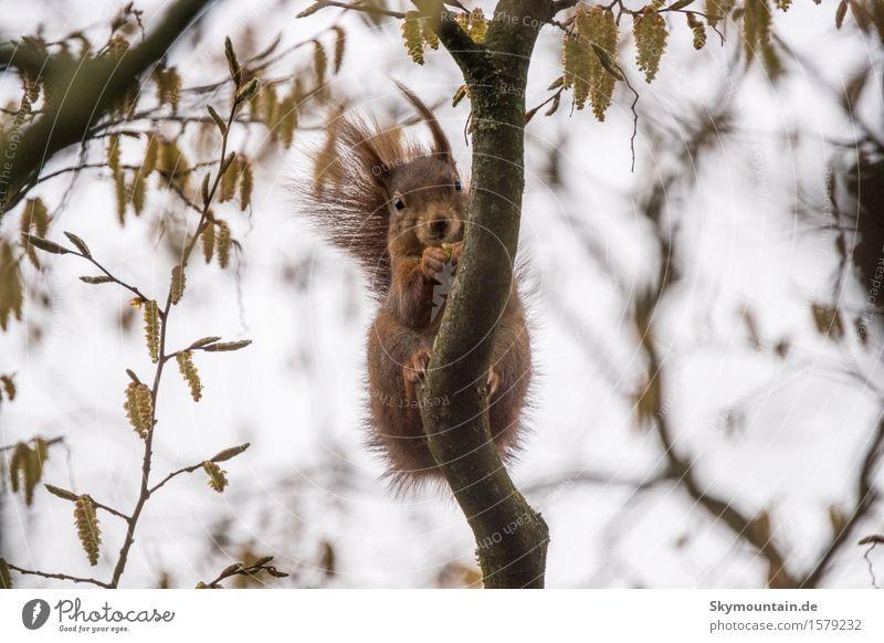 Eichhörnchen beim Knabbern Umwelt Natur Landschaft Pflanze Tier Himmel Klima Wetter Baum Garten Park Wiese Feld Wald Wildtier Tiergesicht Fell 1 braun grau