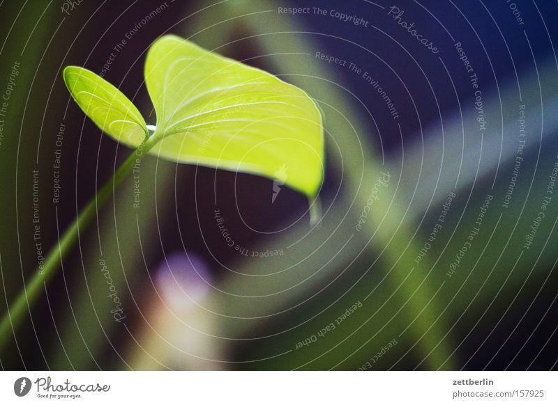 Monster Blatt grün Zimmerpflanze Makroaufnahme Herz Häusliches Leben Sauerstoff Photosynthese Pflanze Grünpflanze Urwald Duschgel Sommer Fensterblätter Calla