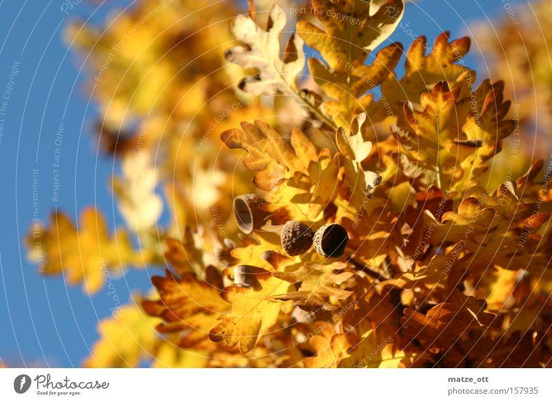 goldener Herbst Blatt Jahreszeiten Eicheln Sonne Himmel Baum Wärme gelb braun Laubfall