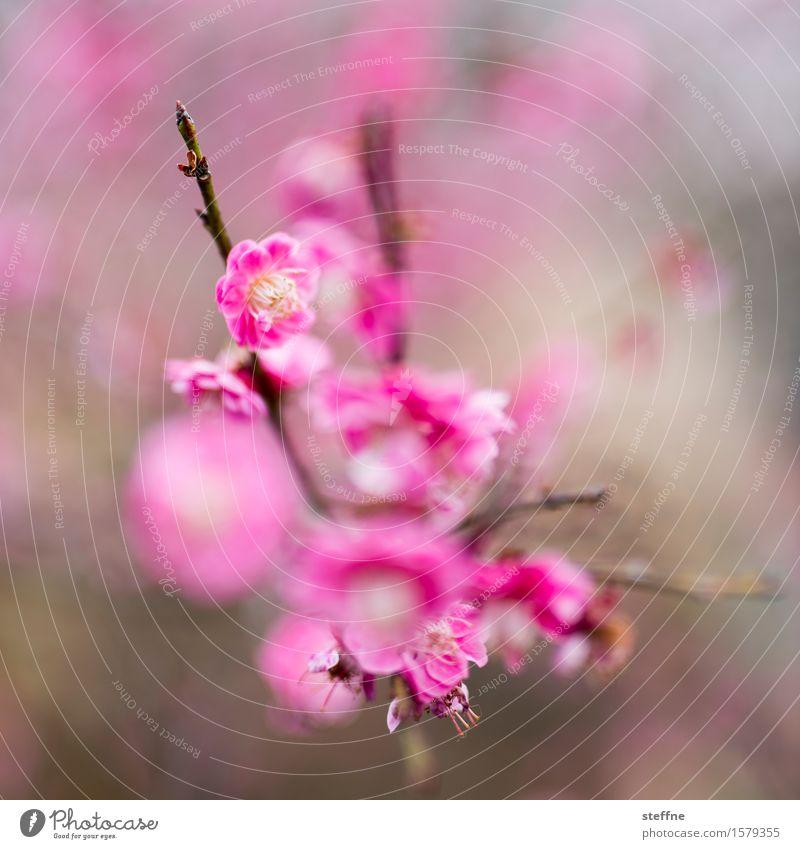 Mädchenfoto mit Speer Natur Pflanze Baum Blüte Frühling rosa ästhetisch Sträucher Blühend Kirschblüten magenta