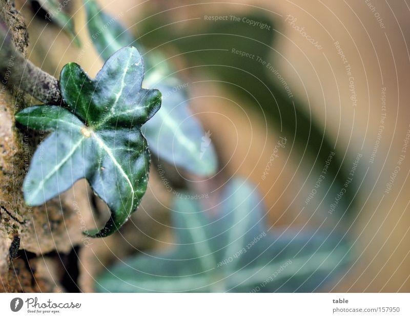 immer grün Baum Blatt braun Symbole & Metaphern Tradition Alternativmedizin Treue Verbundenheit Efeu Kletterpflanzen Volksglaube umgänglich