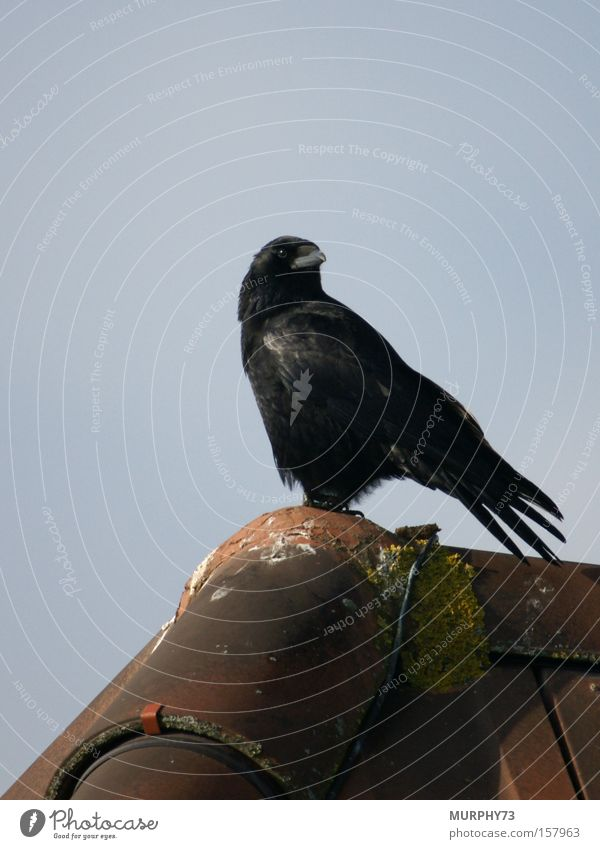 Lieber einen Spatz in der Hand als die Krähe auf dem Dach... schwarz Vogel Backstein Dachziegel Rabenvögel Dachfirst