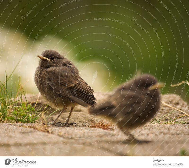 Traute Zweisamkeit Glück Vogel Stress Küken Ehe Einigkeit Scheidung Krise Tier Ehekrise Gartenrotschwanz