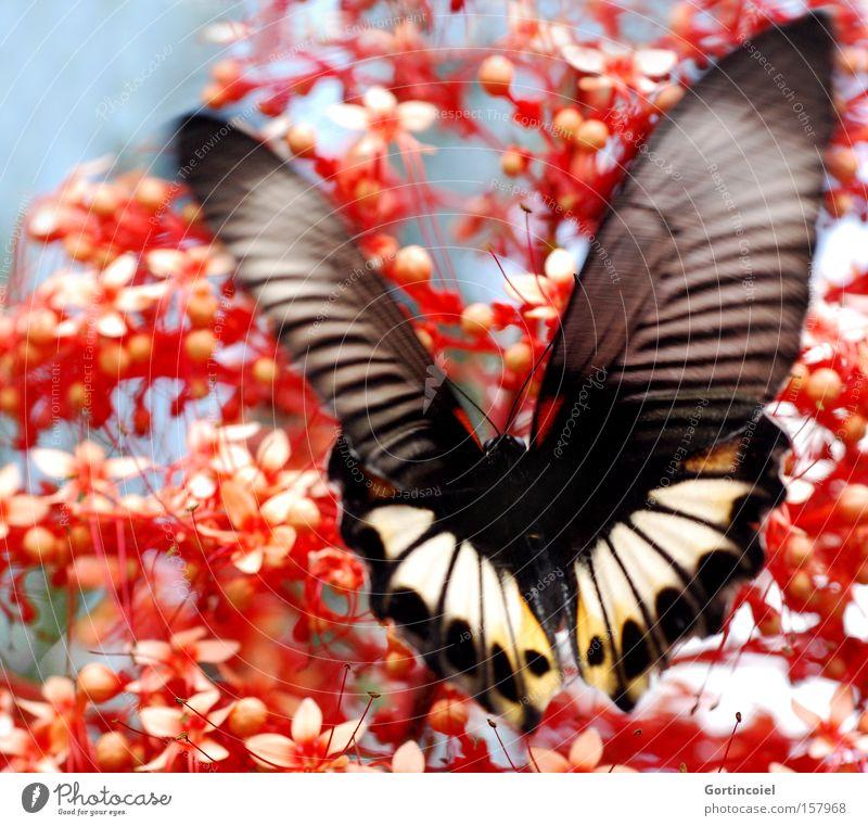 Bali Butterfly Natur schön Blume Pflanze rot Sommer Tier Blüte Frühling Glück fliegen Asien Flügel Insekt außergewöhnlich Schmetterling