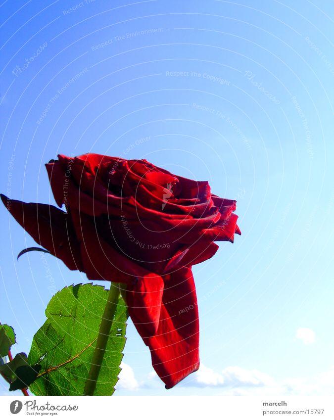 schönes Blümchen Himmel Blume blau Pflanze rot Blatt Graffiti Rose