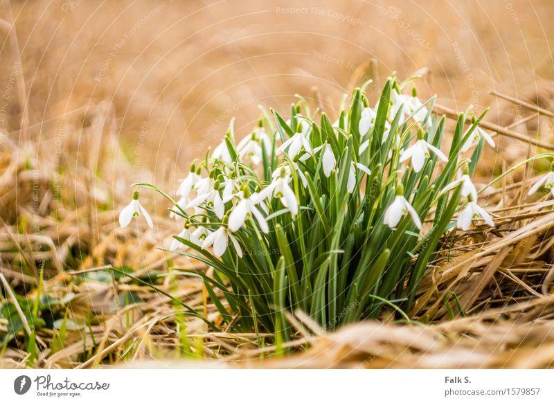 Schneeglöckchen Natur Pflanze Frühling Blume Gras Blatt Blüte Wildpflanze Frühblüher Stroh Wiese Wald ästhetisch frisch trocken braun grün weiß Frühlingsgefühle