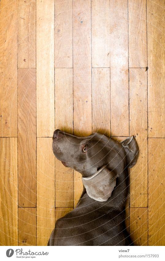 Hundepuppe Spielen Holz schlafen Ohr liegen Fell Langeweile Puppe Gesichtsausdruck Säugetier Parkett gestikulieren Halbschlaf Weimaraner