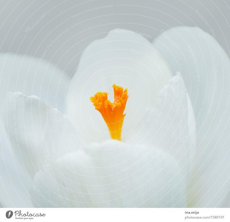 Erwachen der Farben Umwelt Natur Pflanze Frühling Blume Blüte Blühend Duft ästhetisch natürlich schön feminin gelb orange weiß Frühlingsgefühle Verliebtheit