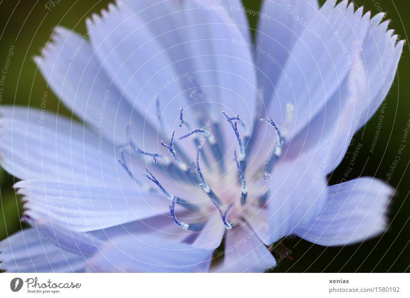 Makroaufnahme einer blauen Kornblume vor dunkelgrünem Hintergrund Flockenblume Centaurea cyanus Pflanze Sommer Blume Blüte Weizenfeld Staubfäden Feld weiß