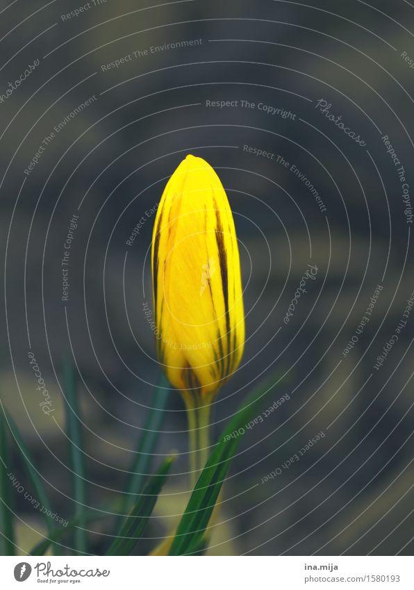 Farben erwachen Natur Pflanze Umwelt gelb Blüte Frühling natürlich Garten Park Wachstum frisch ästhetisch Lebensfreude einzigartig neu
