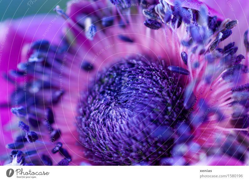Makroaufnahme violetter Anemonenkern Blume Staubfäden Blüte Garten-Anemone Hahnenfußgewächse rosa fein zart Außenaufnahme Nahaufnahme Detailaufnahme