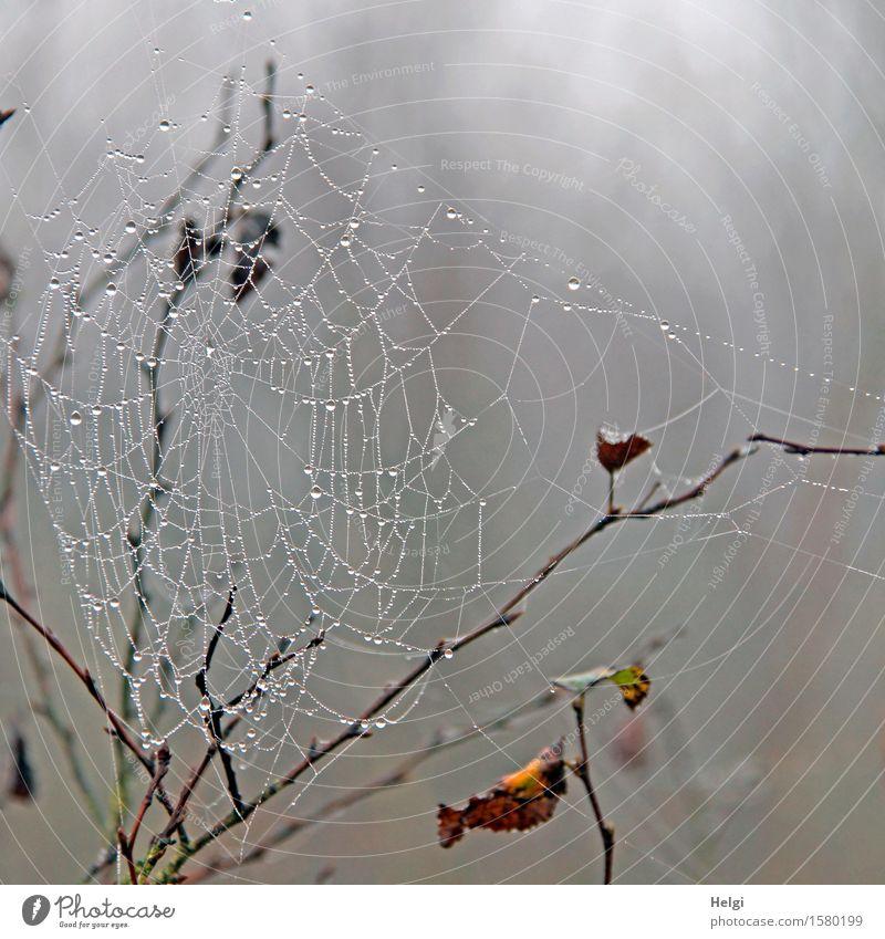 Gespinst im Moor Umwelt Natur Pflanze Wassertropfen Herbst Nebel Sträucher Blatt Zweig Sumpf Spinnennetz hängen dunkel einzigartig kalt nass natürlich braun