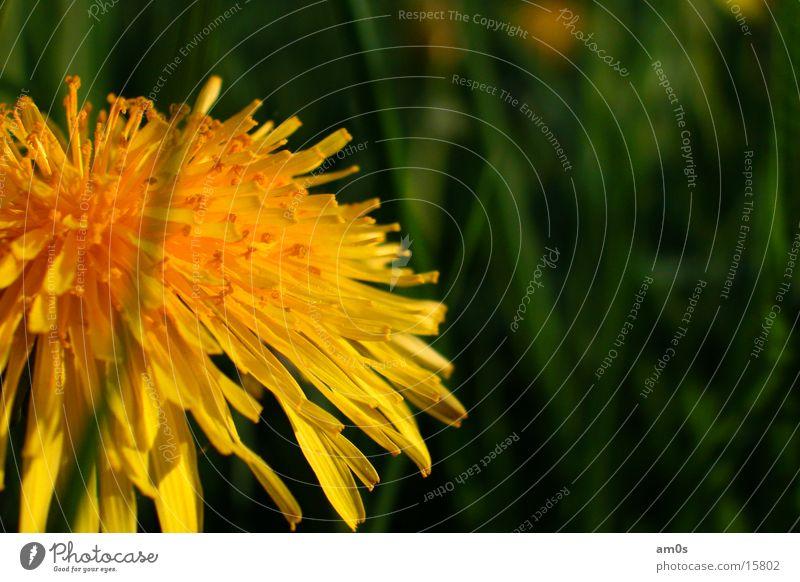 Löwenzahn Blume Tiefenschärfe