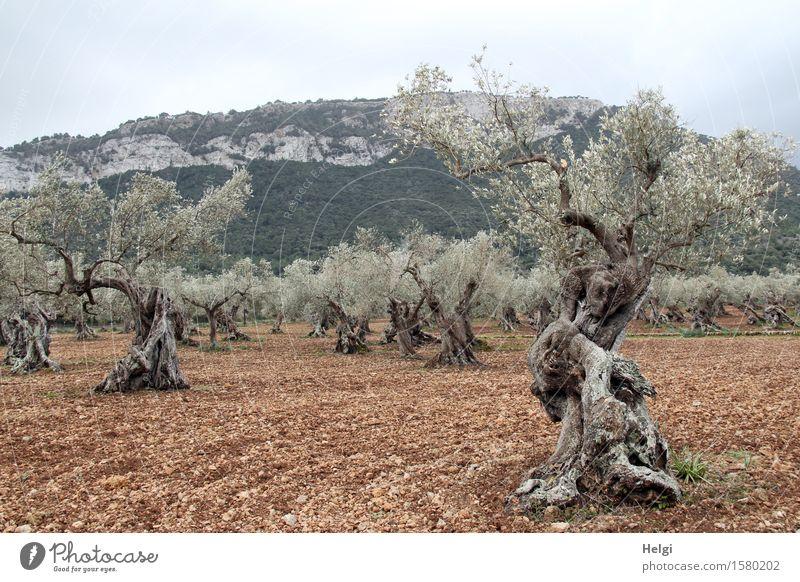 alt und knorrig Umwelt Natur Landschaft Pflanze Erde Himmel Frühling Baum Nutzpflanze Olivenbaum Olivenhain Feld Berge u. Gebirge Serra de Tramuntana Insel