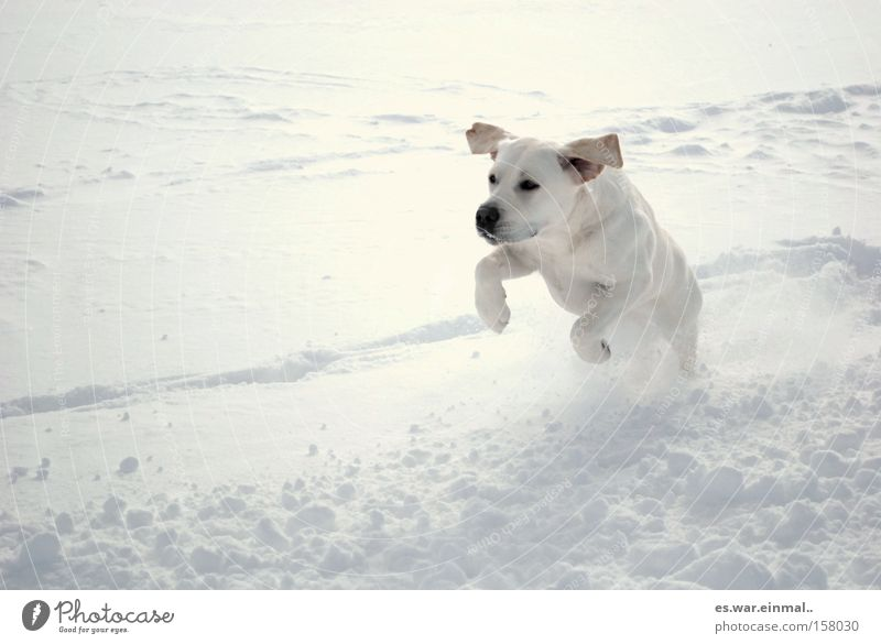 weiss auf weiss. Hund Winter Freude Tier Schnee Spielen Glück springen Gesundheit Tierjunges Kraft Wind laufen rennen Ohr sportlich