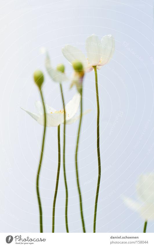 IIIII Blume Blüte Frühling Sommer Farbe hell weiß Blütenknospen Makroaufnahme Nahaufnahme schön blau. pastell