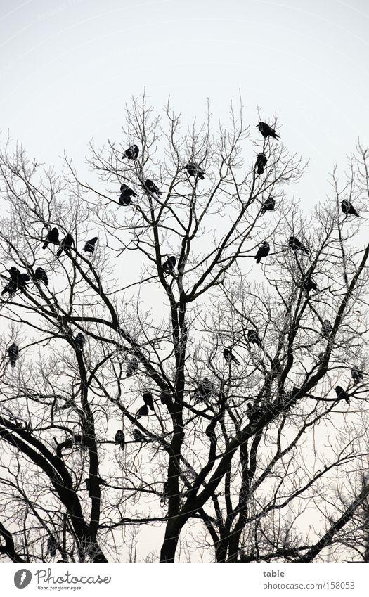 Warten Himmel Baum Winter kalt Vogel sitzen Ast Zweig Landebahn Rabenvögel Krähe Flughafen Mythologie Singvögel