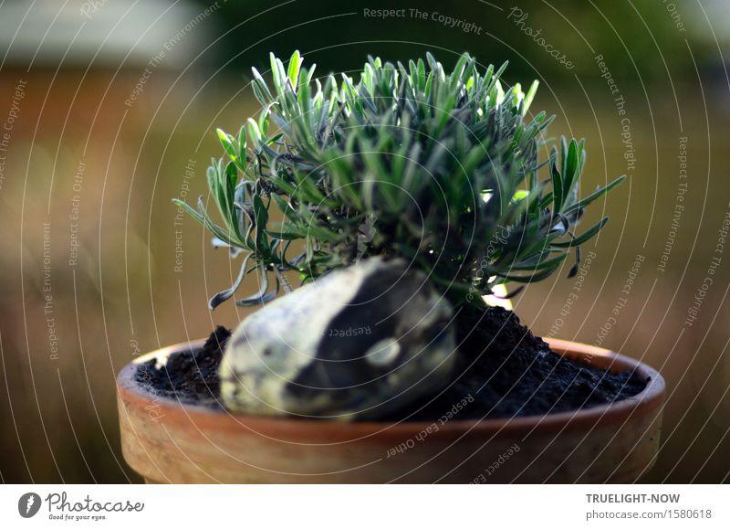 ZEN-Geist: Anfängergeist Natur Urelemente Erde Sonnenlicht Frühling Sommer Schönes Wetter Nutzpflanze Lavendel braun grün weiß Duft Erholung Erwartung Ewigkeit