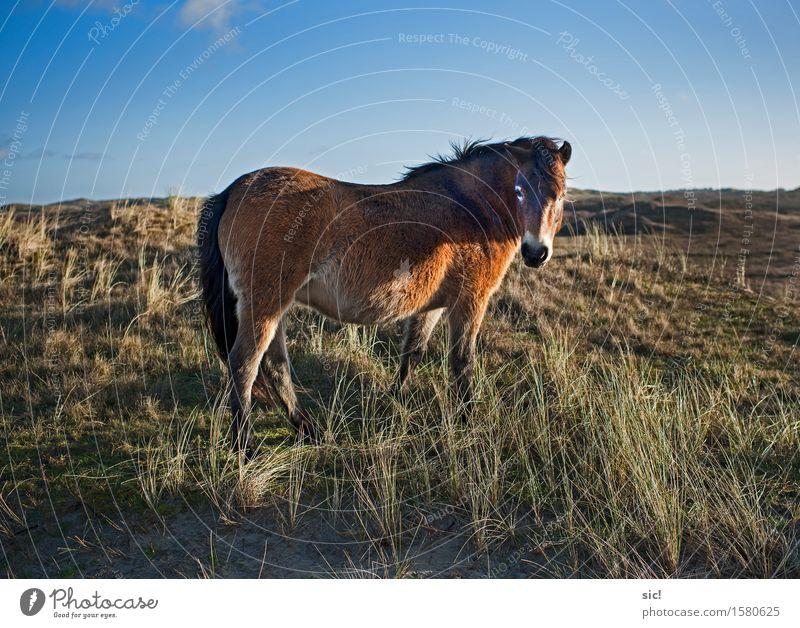Dünenpony Reiten Ferien & Urlaub & Reisen Tourismus Ausflug Natur Landschaft Sand Himmel Schönes Wetter Gras Küste Nordsee Bergen aan Zee Niederlande Tier Pferd