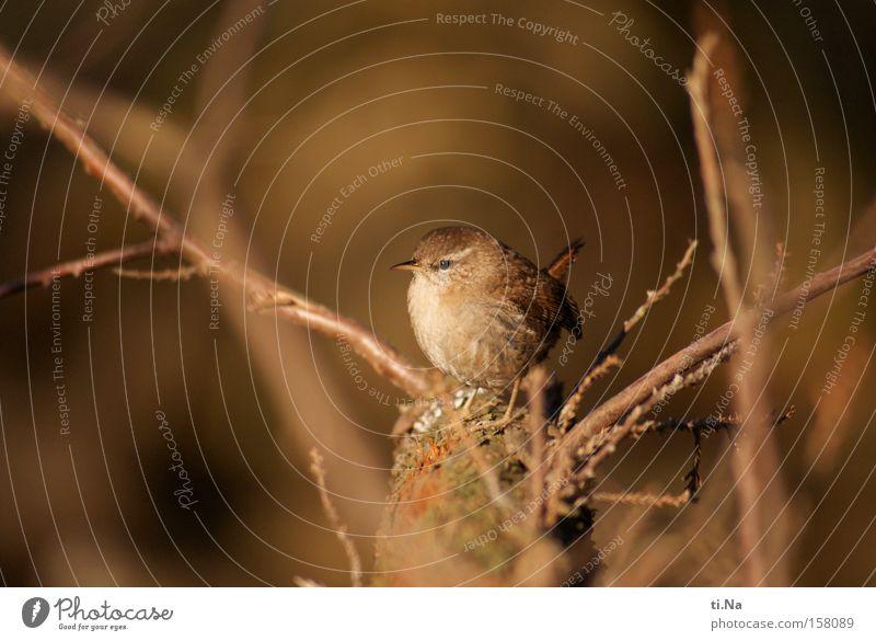 Zaunkönig im Garten Natur schön Baum Winter Tier Freiheit klein braun Vogel gold frei Wildtier Geschwindigkeit Feder beobachten