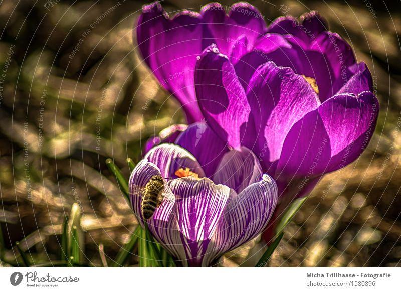 Biene & Blume Umwelt Natur Pflanze Tier Sonne Sonnenlicht Frühling Sommer Schönes Wetter Blatt Blüte Krokus Wiese Wildtier 1 Blühend Duft fliegen Wachstum
