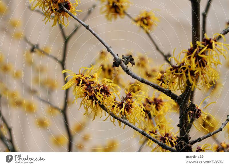 Winterblüte Pflanze ruhig gelb Blüte Frühling Sträucher Ast Blühend Zweig aufwachen Quaste Frühblüher Zaubernuss