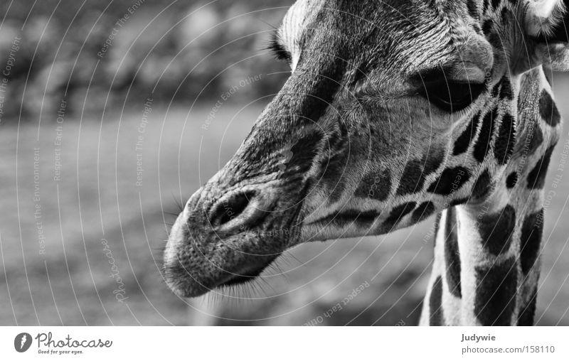 Portrait einer Giraffe weiß schwarz Tier groß Afrika wild lang Zoo Neugier Wildtier Hals Säugetier Zebra Wildnis Schwarzweißfoto