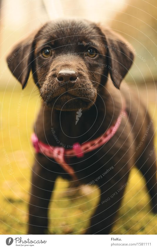 Neugierige Lotta Tier Haustier Hund Tiergesicht 1 Tierjunges frech schön klein feminin braun Labrador Welpe Abenteurer Kindheit Schnauze Farbfoto Außenaufnahme