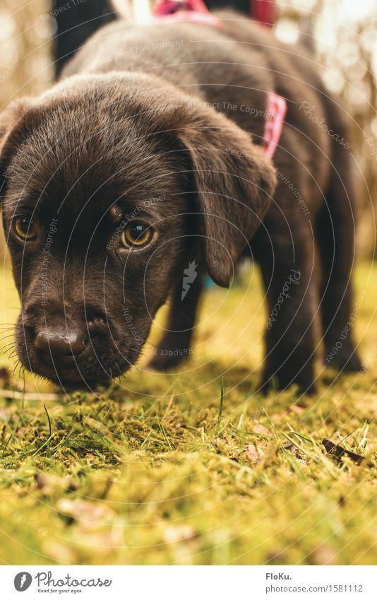 Schnüffel schnüffel Erde Gras Moos Garten Park Wiese Tier Haustier Hund 1 Tierjunges klein Neugier niedlich braun Stimmung Labrador spionieren Geruch Suche
